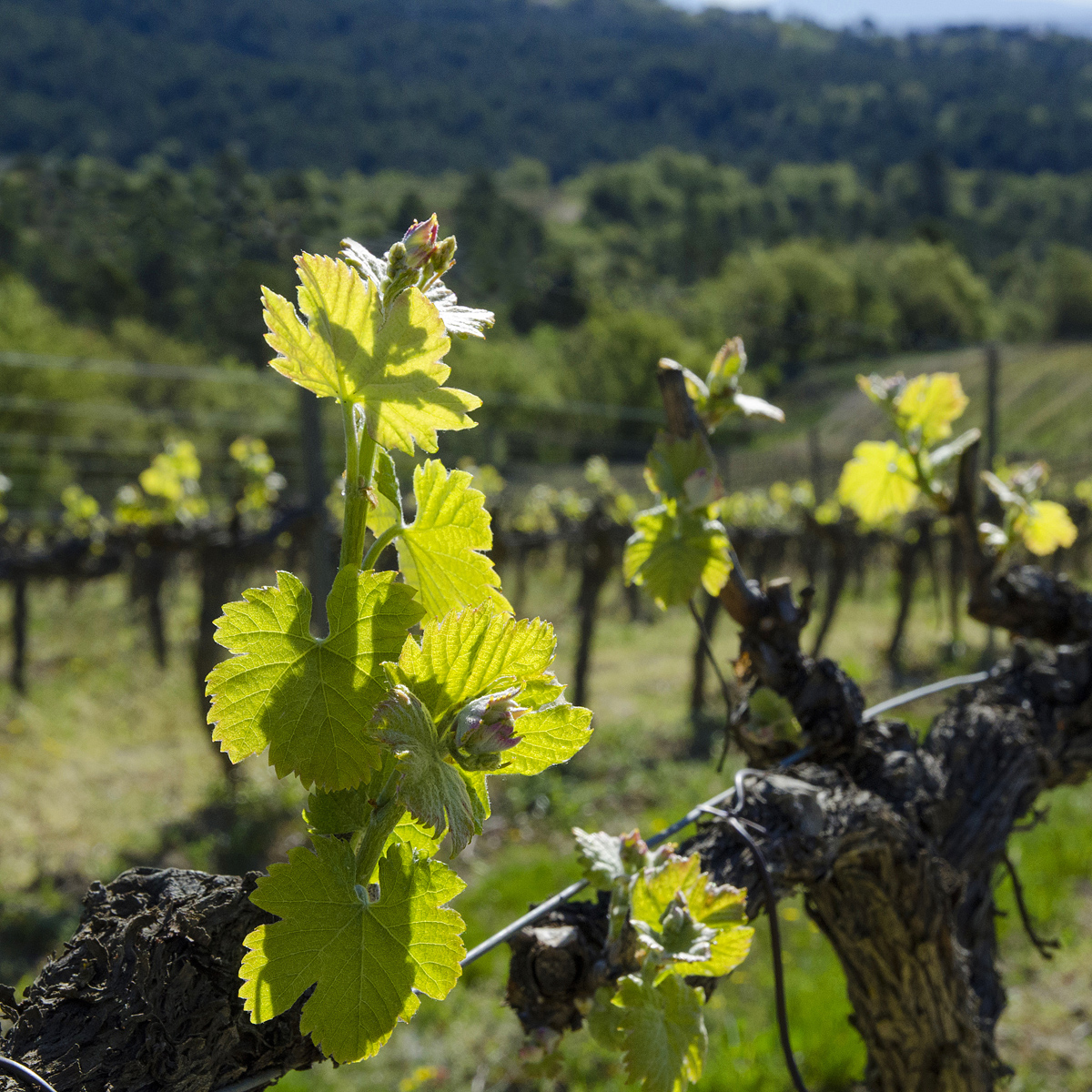 vigne des Alpes de Haute Provence